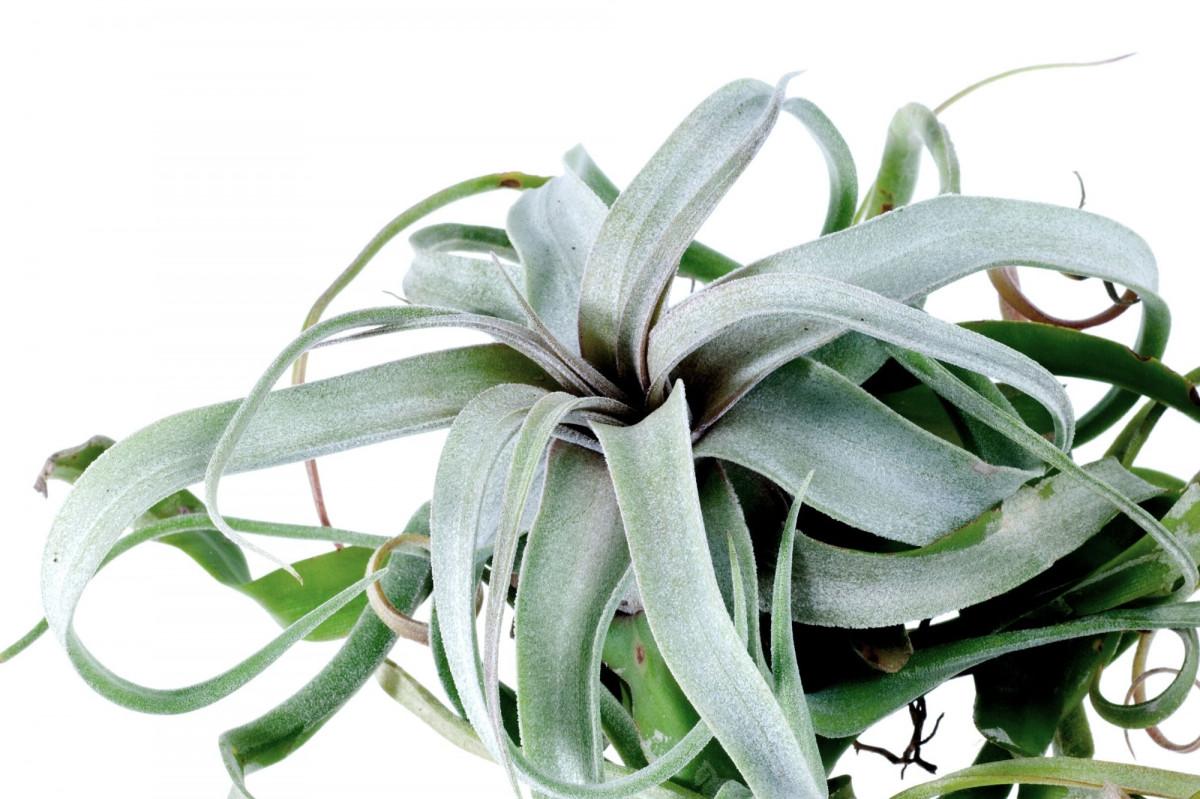 a photo of a xeric air plant