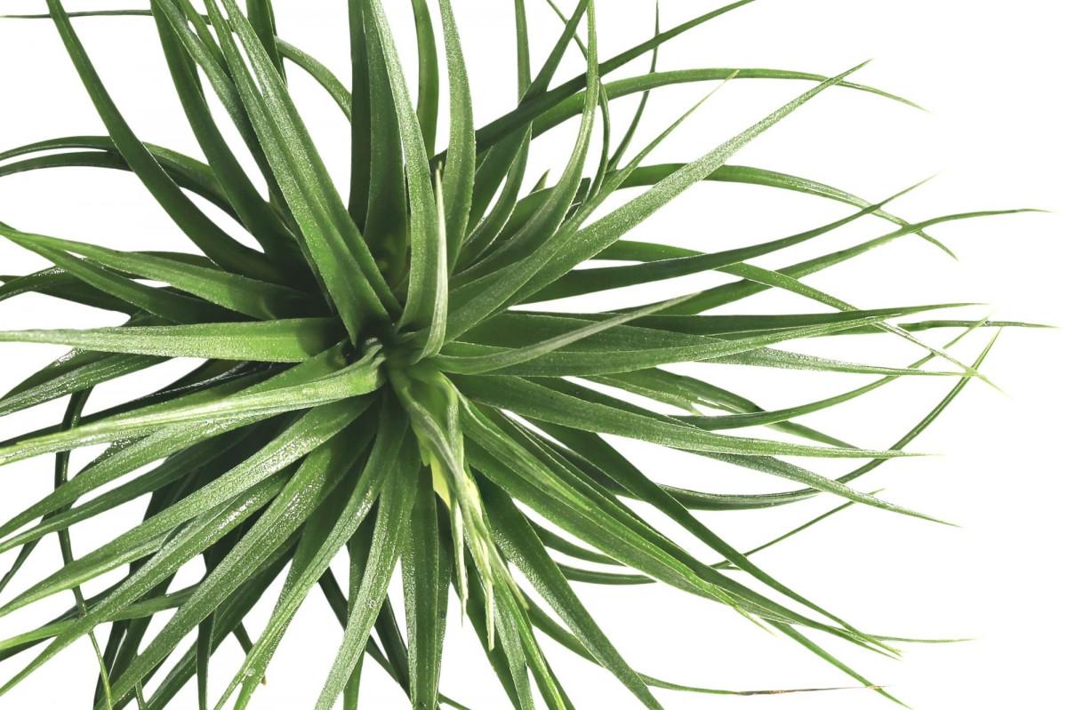 a photo of a mesic air plant