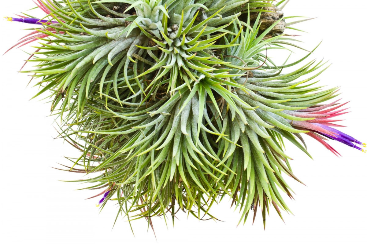 a photo of semi-mesic air plants
