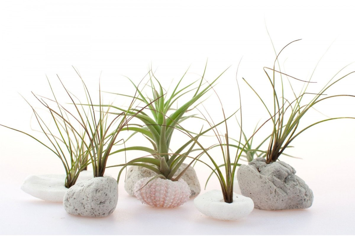 a group of air plants displayed in sea urchin shells