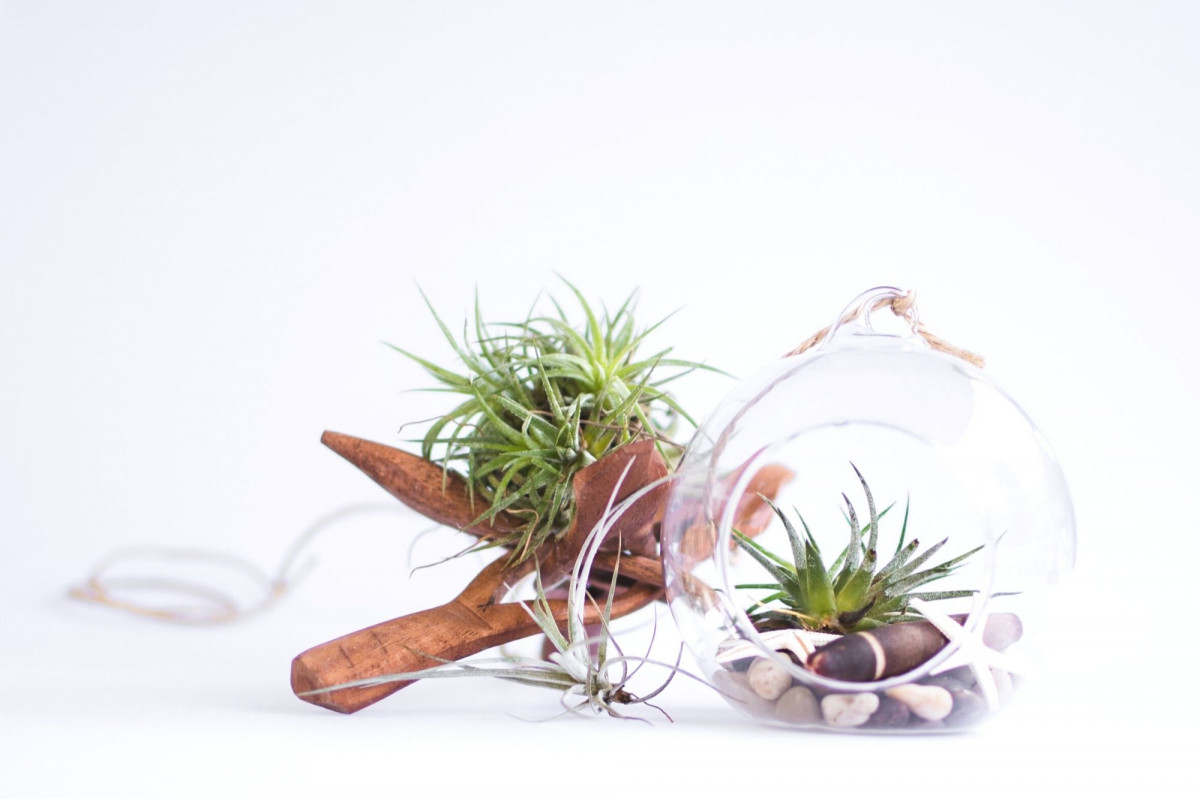 a photo of air plants displayed on driftwood and inside a hanging globe terrarium