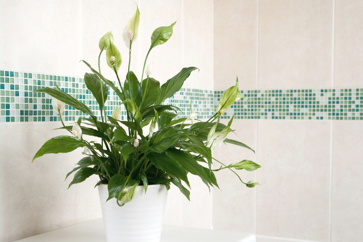 a photo of a Peace Lily in a bathroom corner