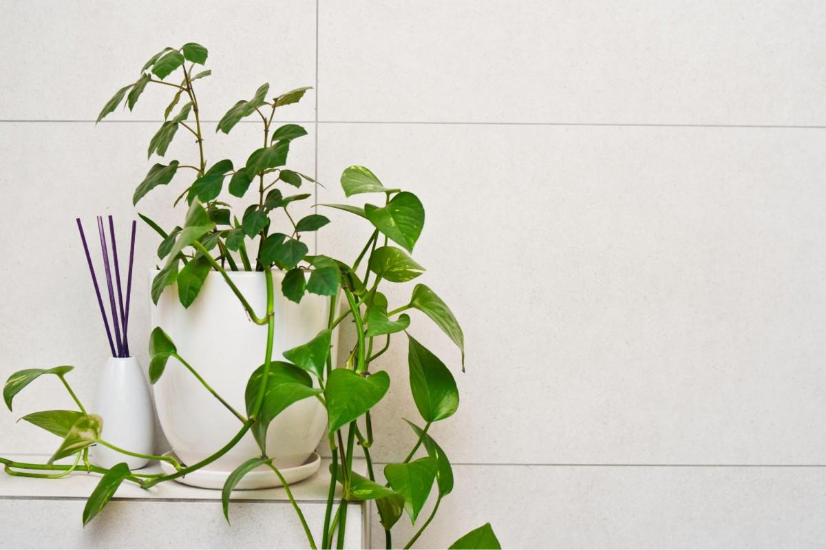 A photo of a Pothos plant on a bathroom shelf