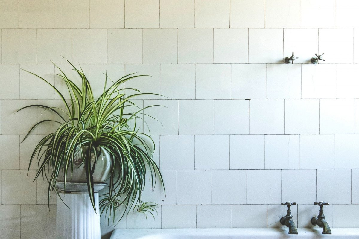 a photo of a Spider Plant displayed next to a footed bathtub