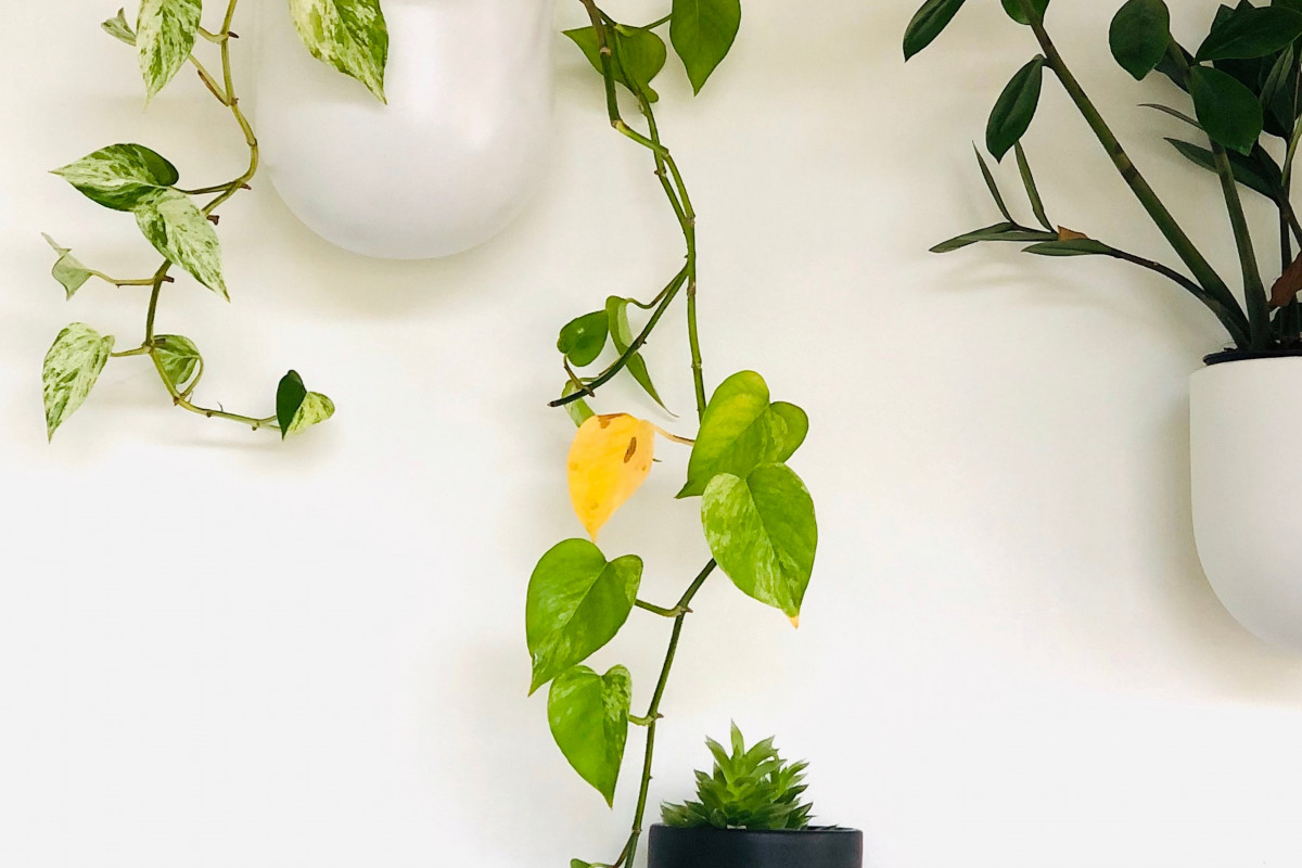 a photo of a pothos plant with yellowing leaf