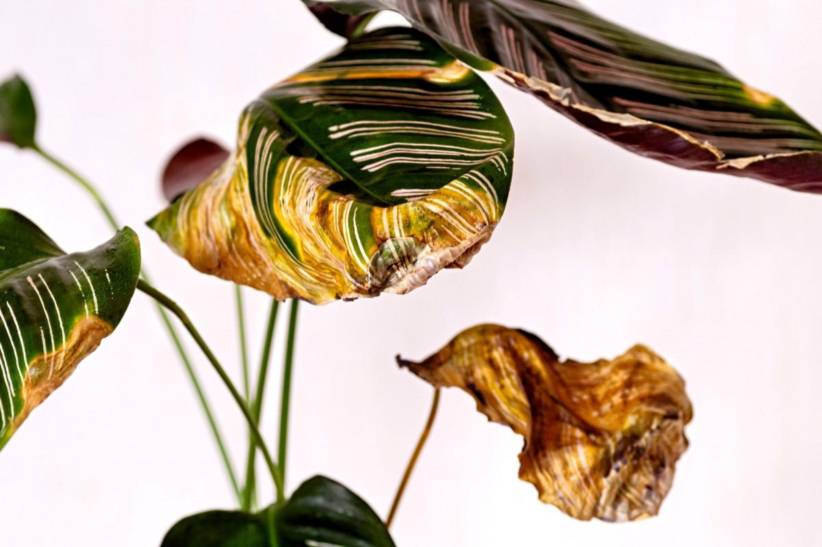 a photo of a Calathea Ornata with dried leaves