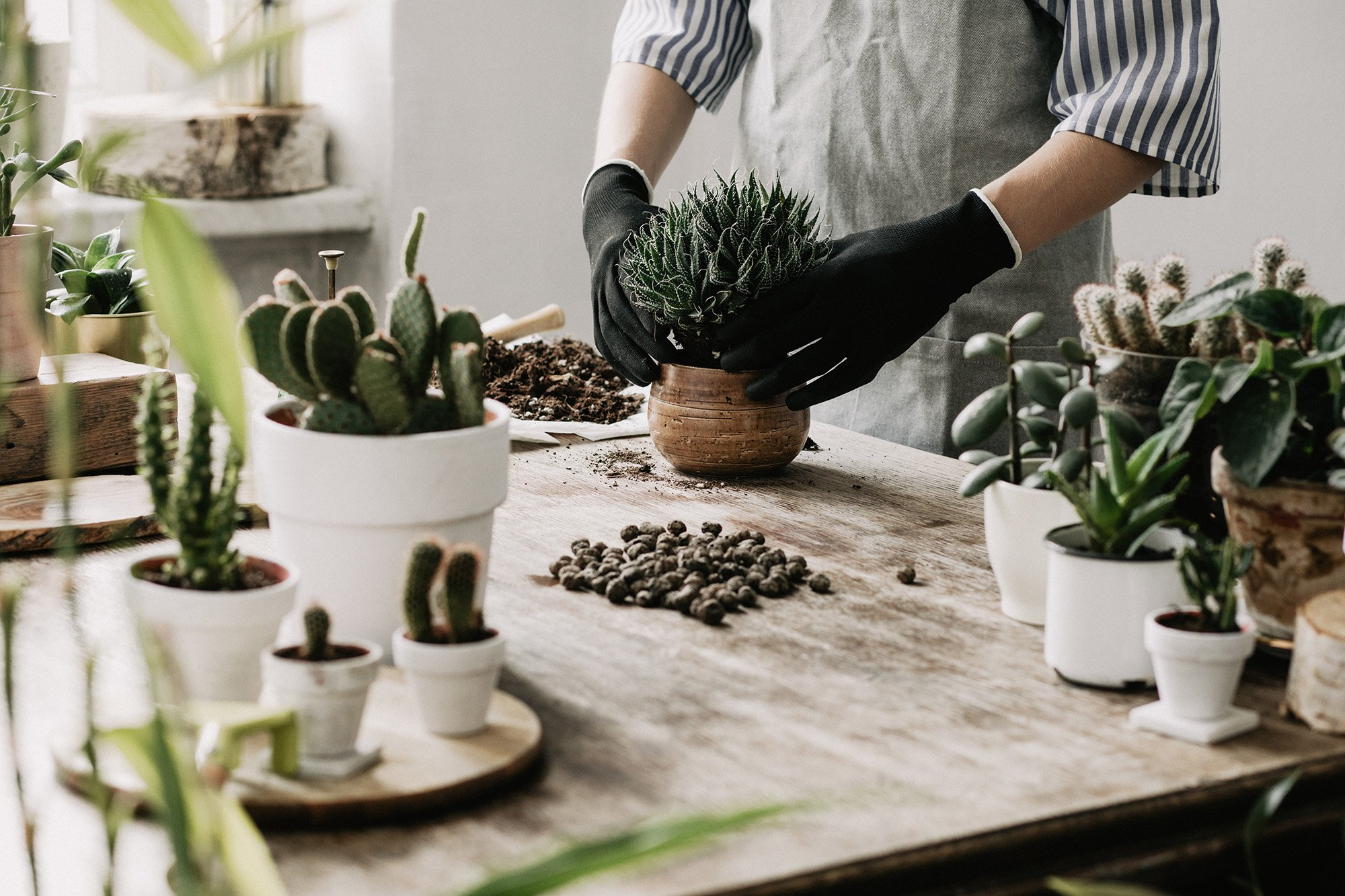 Repotting Your Succulent