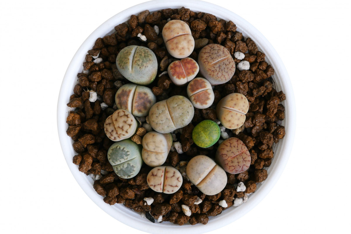 How to Care for Your Lithops