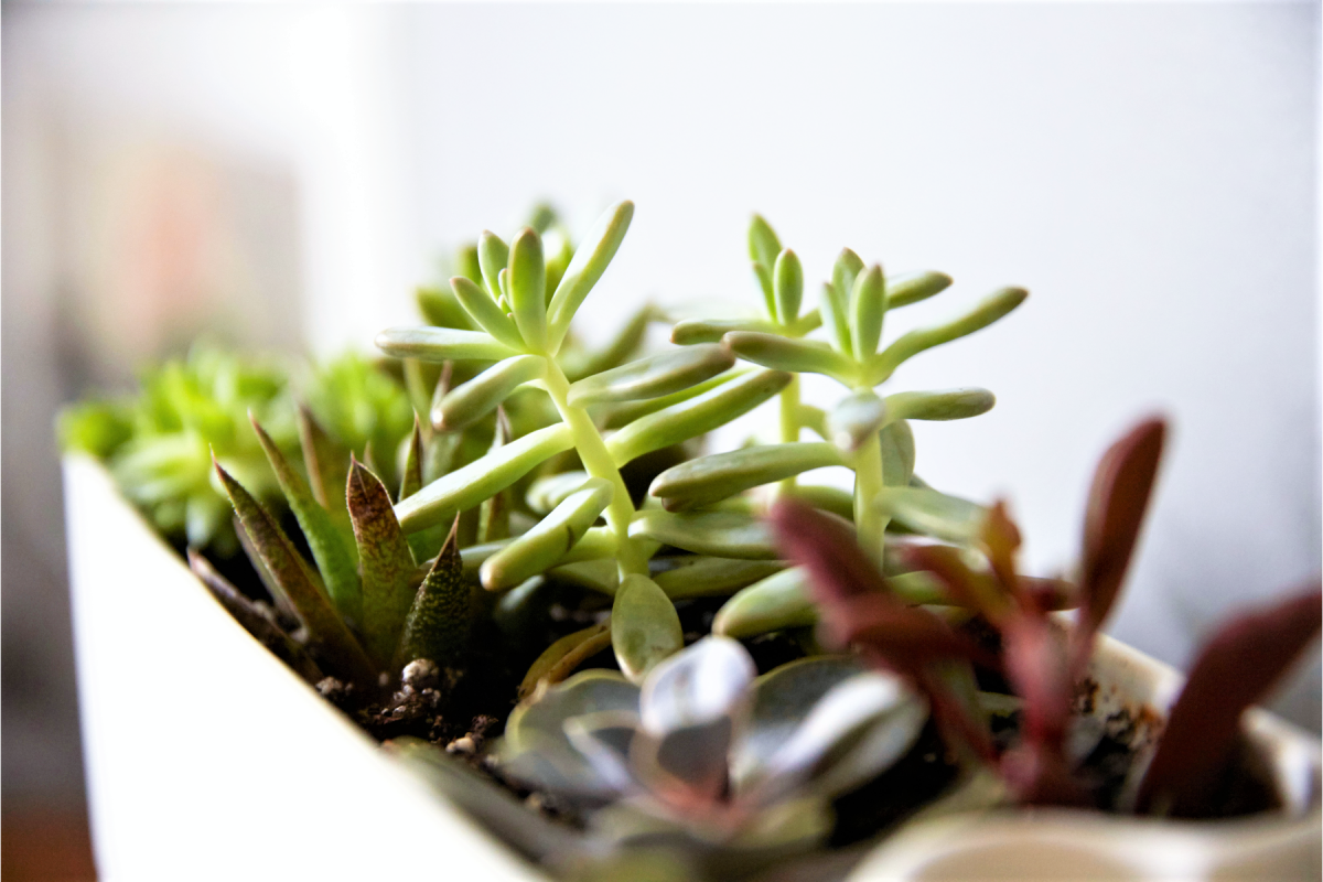 How To Fix Etiolated Succulents