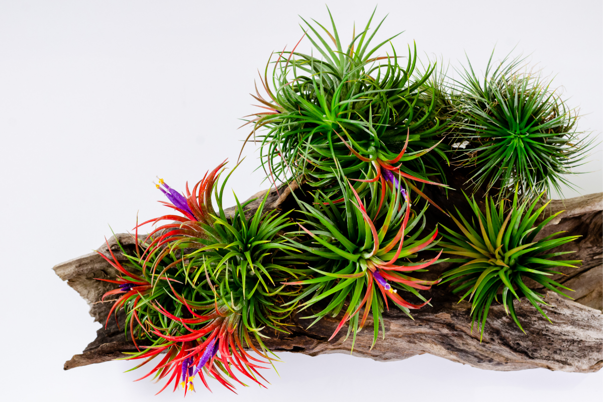 The Life Cycle of Air Plants