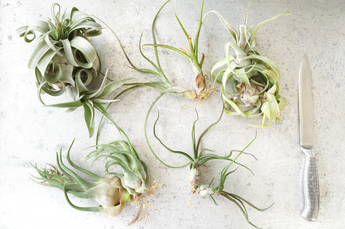 How to Separate Air Plant Pups