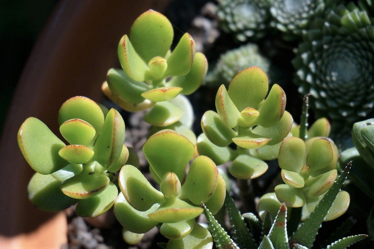 How to Care for Your Crassula