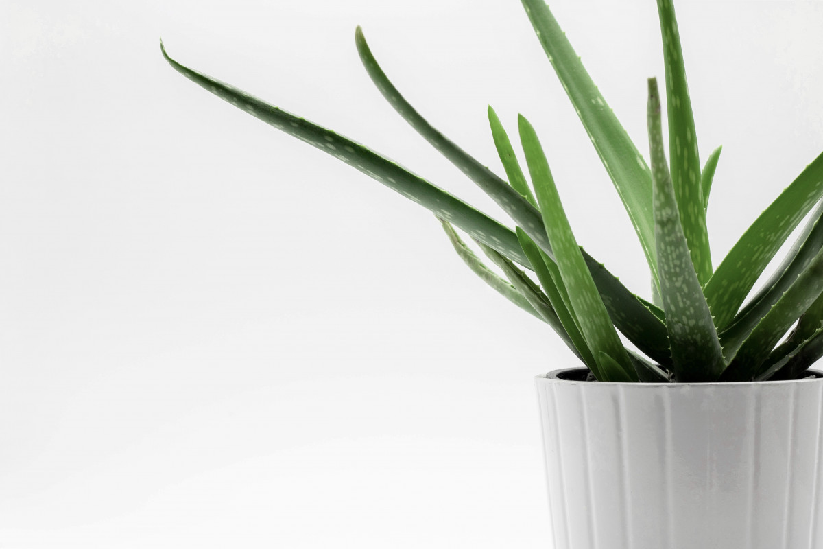 How to Care for Your Aloe Vera