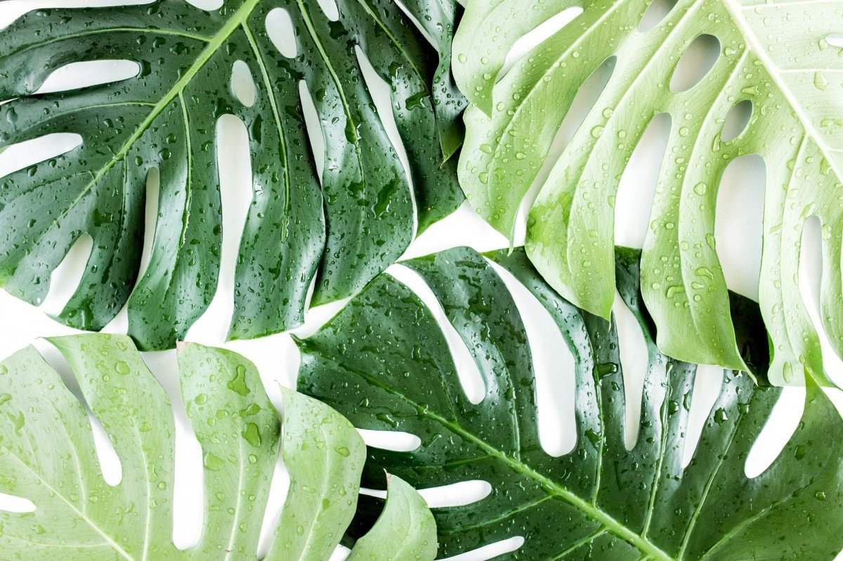 What are Fenestrations on House Plants?
