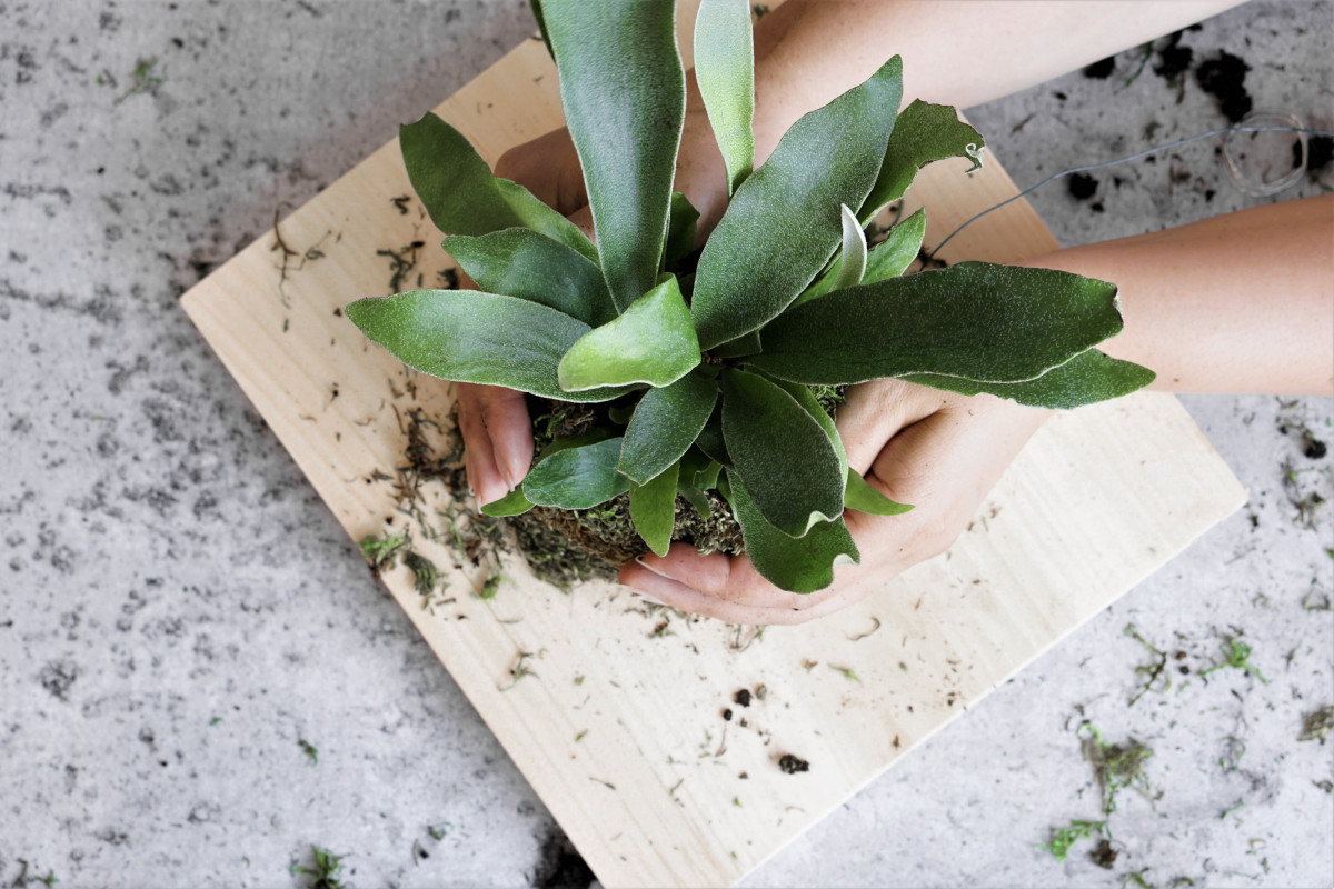 HOW TO: DIY MOUNTED STAGHORN FERN