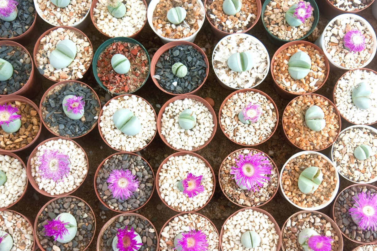 The Benefits of Top Dressing for Succulents