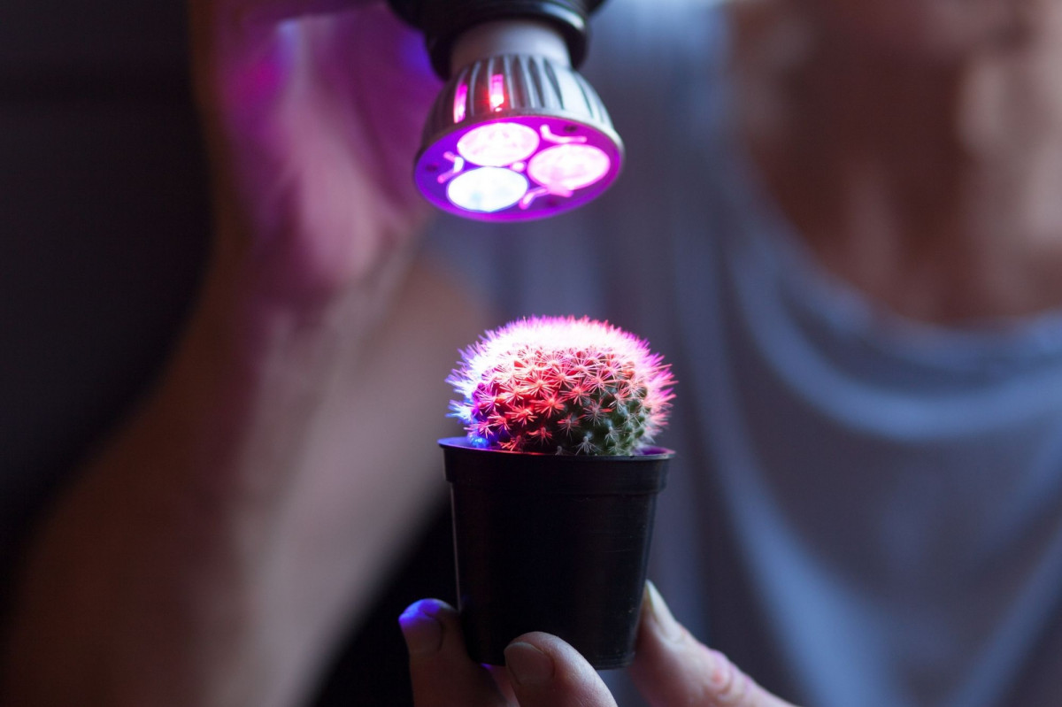 a small cactus under a red - blue spectrum grow bulb