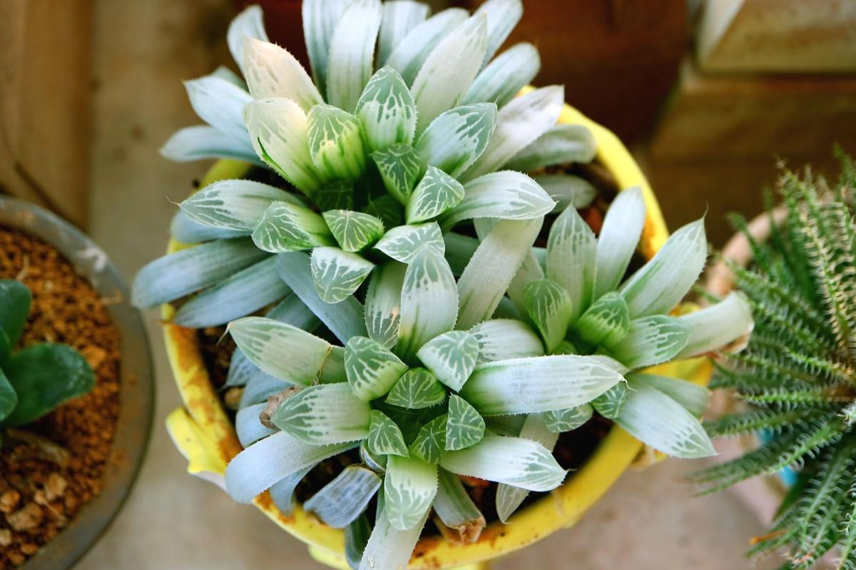 a photo is a pot of haworthia cooperi variegata