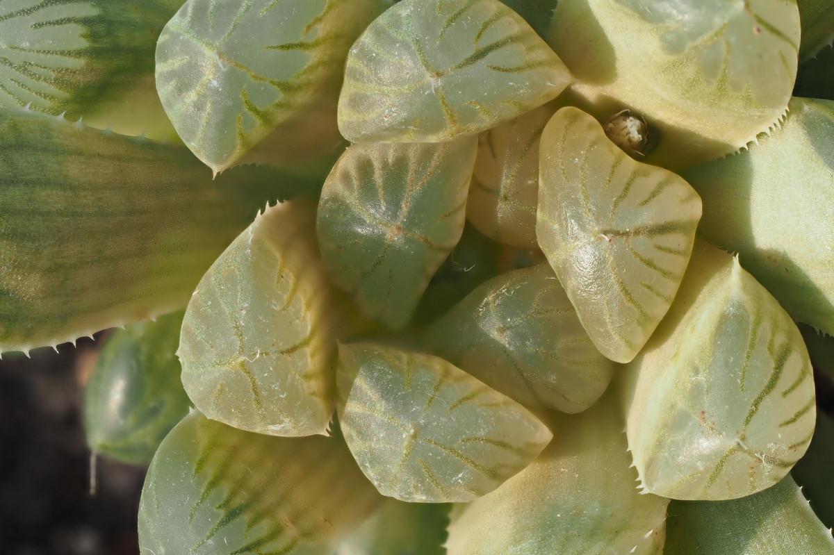 a photo of a sun stressed haworthia cooperi