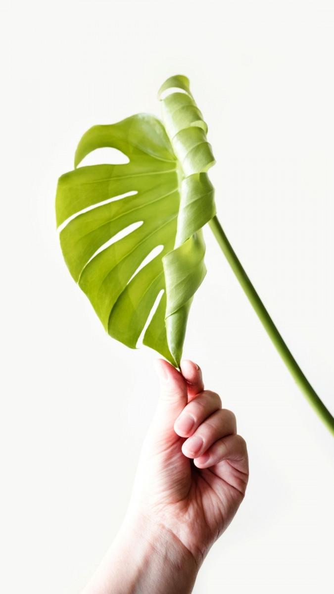 a photo os an unfurling Monstera Deliciosa leaf