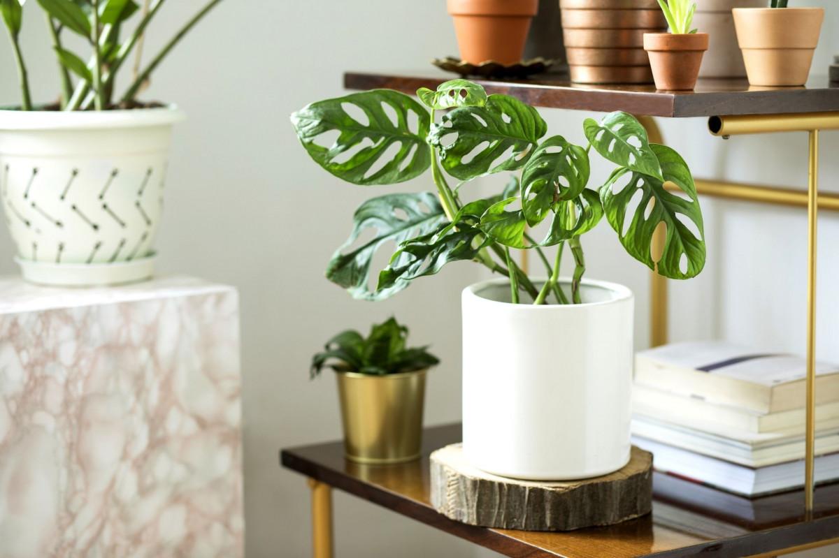 a photo of  Monstera Adansonii styling in a white ceramic pot