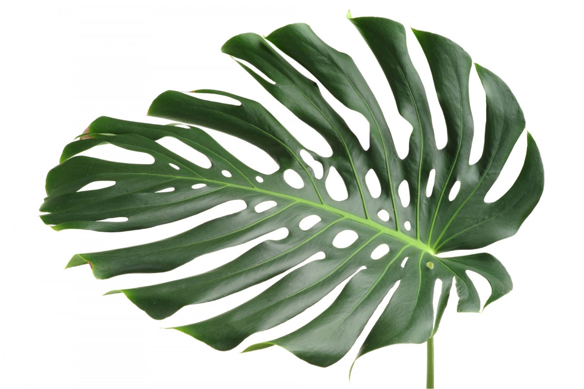 a photo of a Monstera with secondary fenestrations