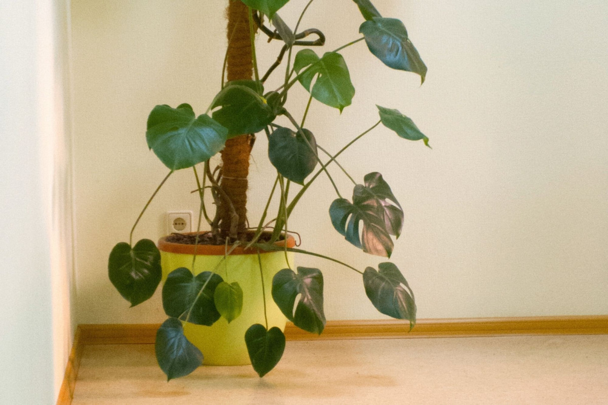 a photo of an etiolated Monstera