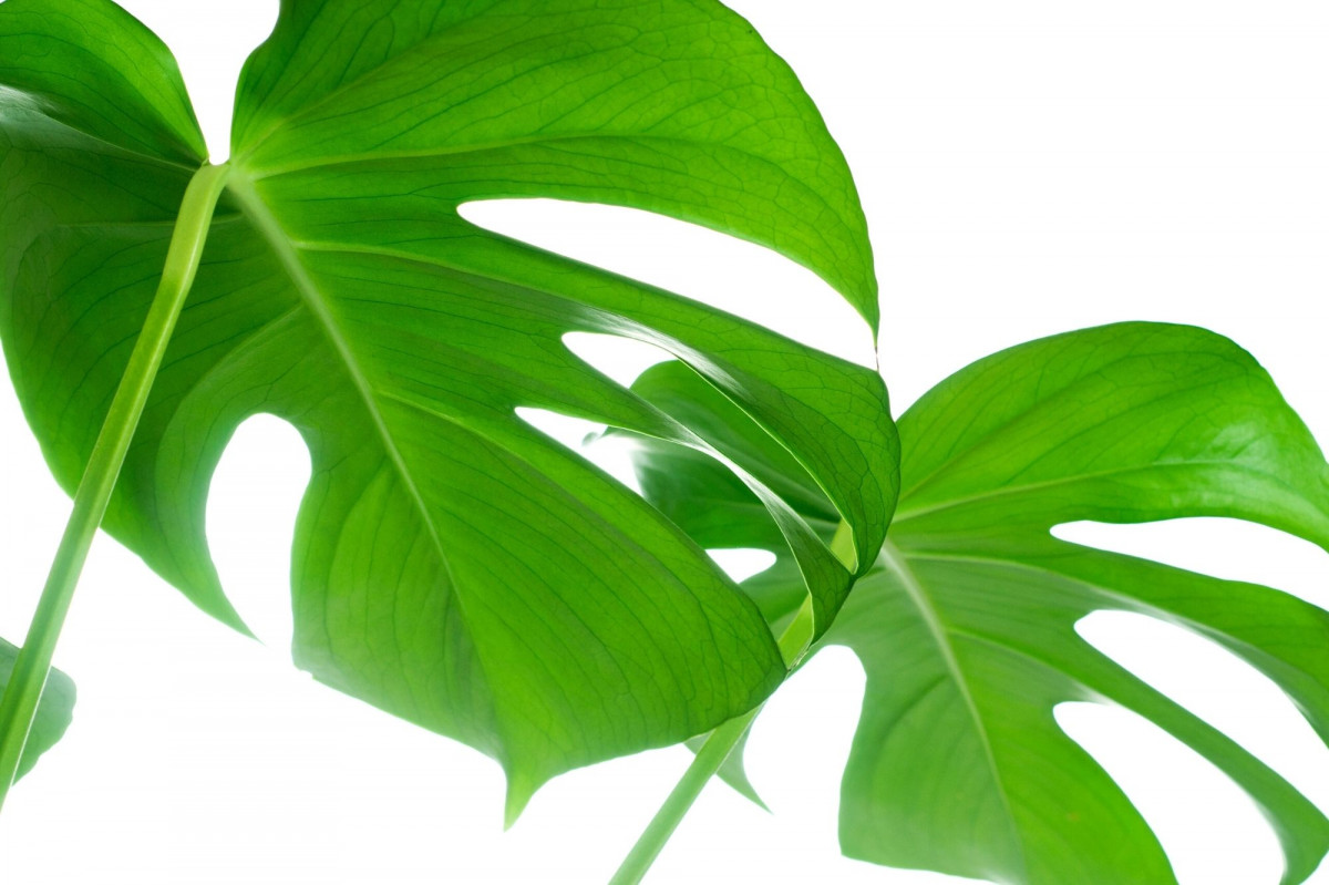 a photo of a Monstera with split leaves