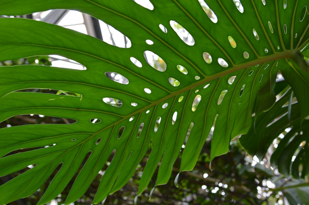 a photo of a Monstera with tertiary fenestrations
