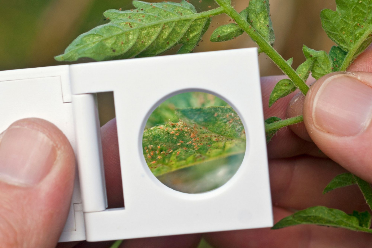 a photo os a person holding a magnifying glass up to red spider mites