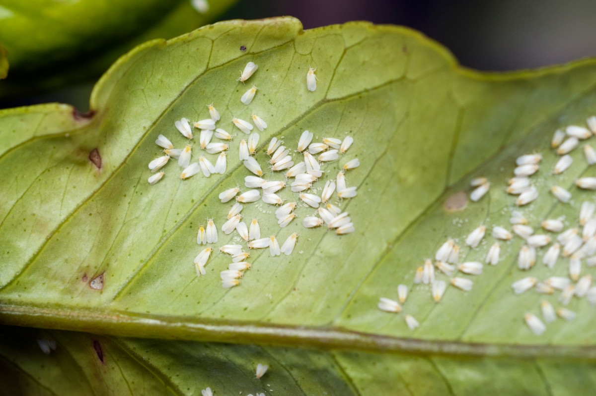 a photo of the underside of a leaf infested with whiteflies