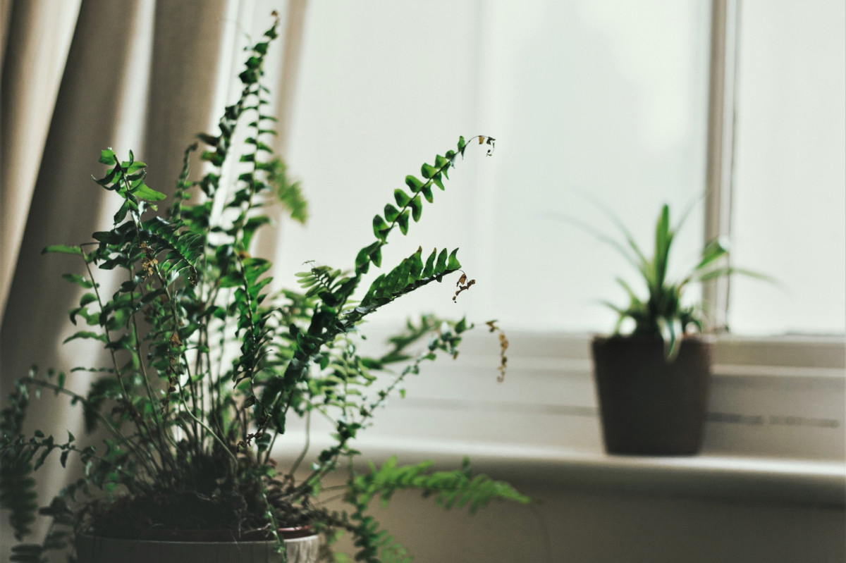a photo of a fern plant with brown, crispy leaf tips