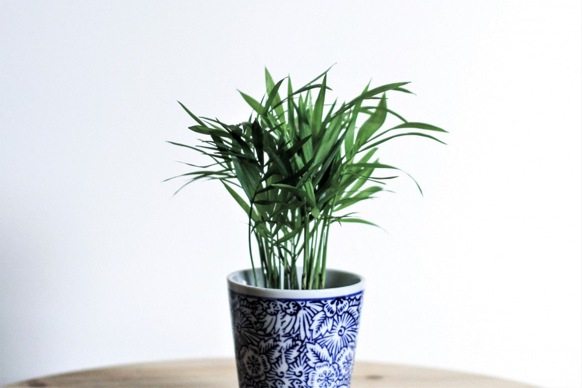 a photo of a Parlour Palm in a decorative planter