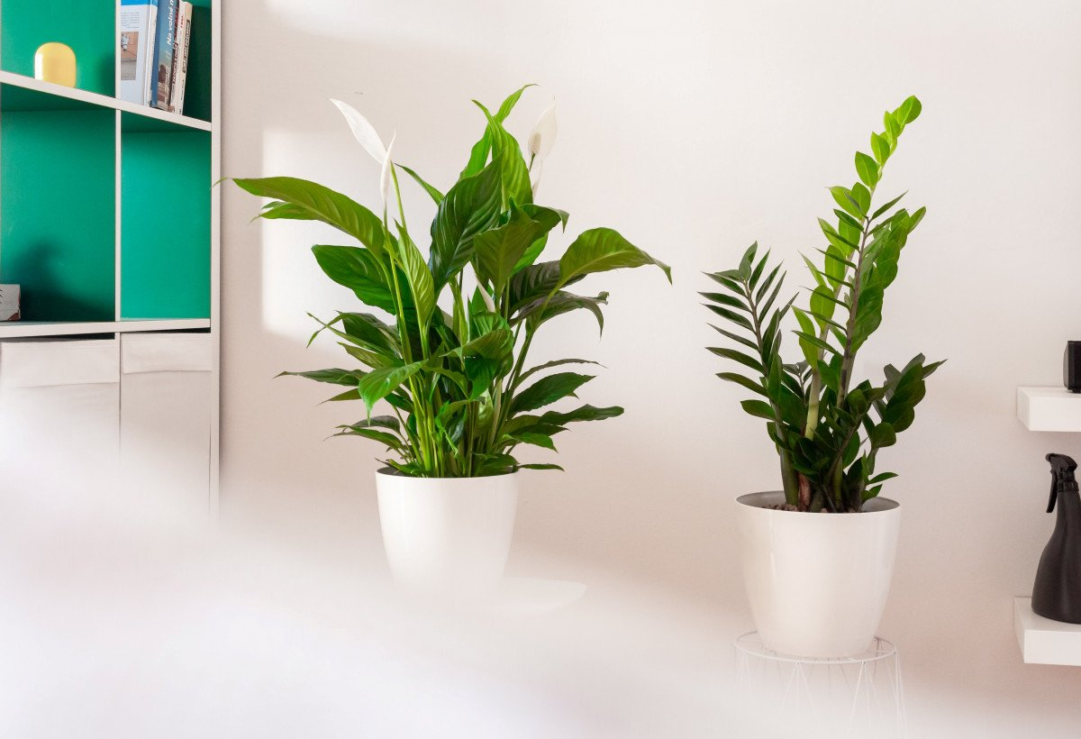 A photo of a Peace Lily and a ZZ Plant