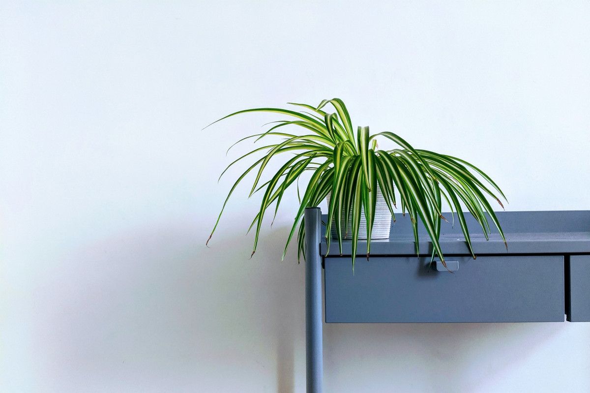 a spider plant with droopy leaves
