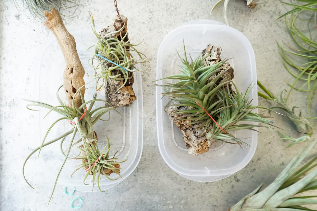 a photo of freshly glues air plants secure in place with rubber bands