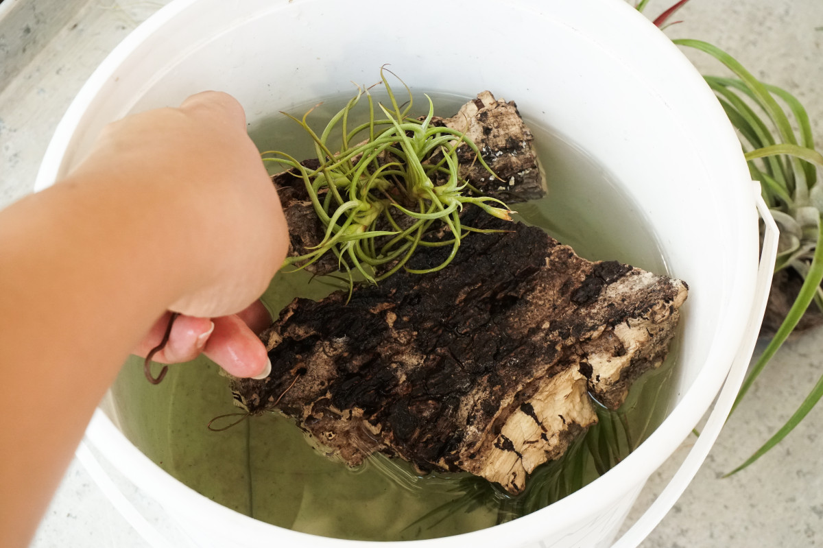 a photo of air plant mounts beyond submerged in a bucket of rainwater for a soak