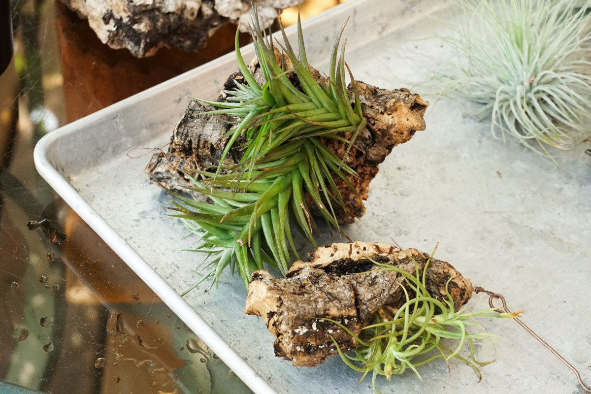 a photo air plant mounts placed on their sides to allow for drainage after being soaked