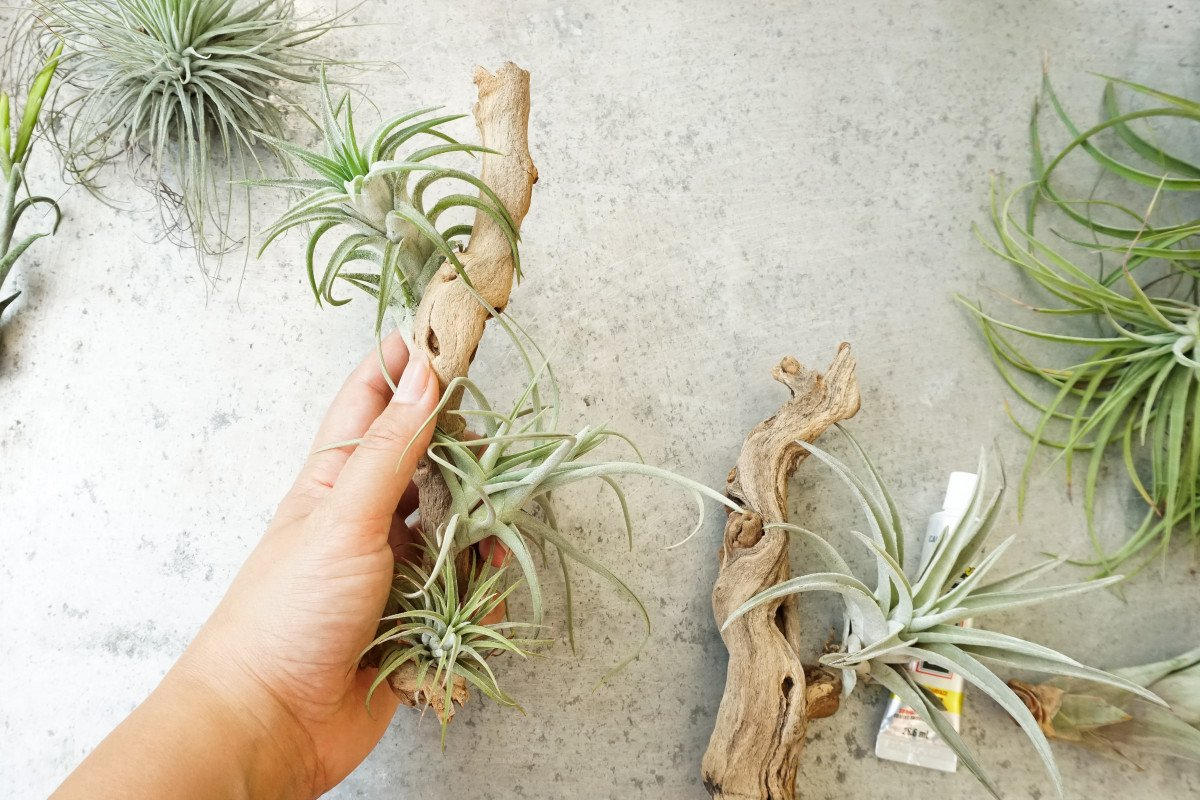 a photo of a person playing around with the placements of some air plants on a grapevine mount
