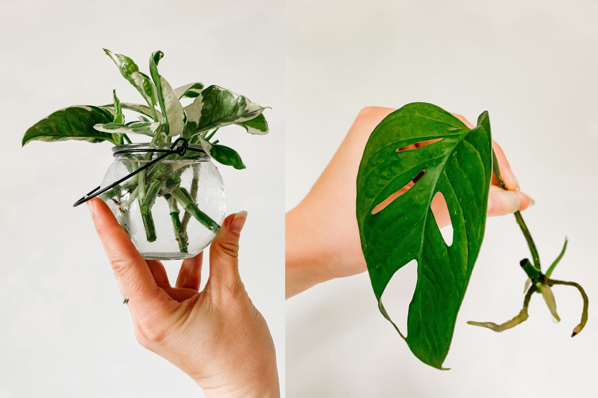 a photo of pothos propagating in water and a photo ofMonstera Adansonii cutting with node and roots growing