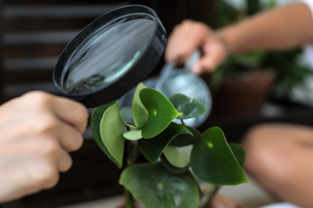 a photo of a person inspecting a peperomia house plant with a magnifying glass for pests