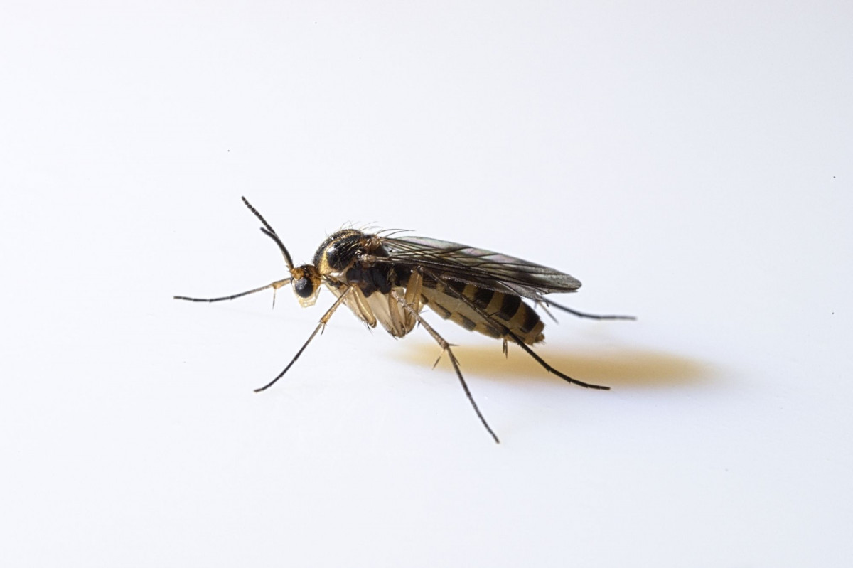 a close up image if a fungus gnat