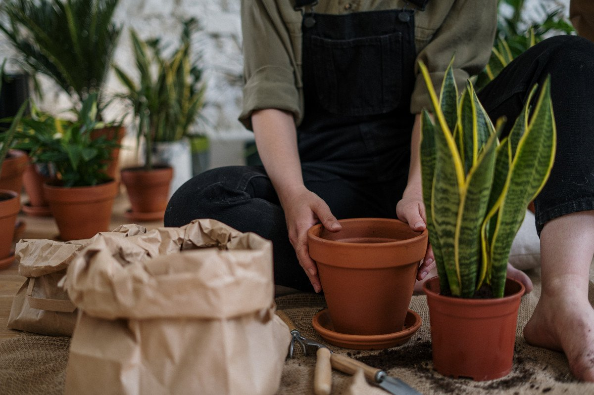 a person repotting a snake plant
