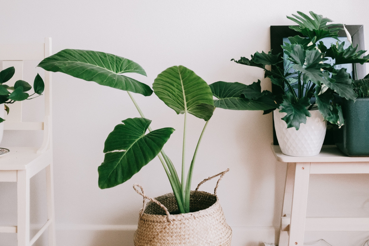 an alocasia plant in a basket sitting in a sunny room