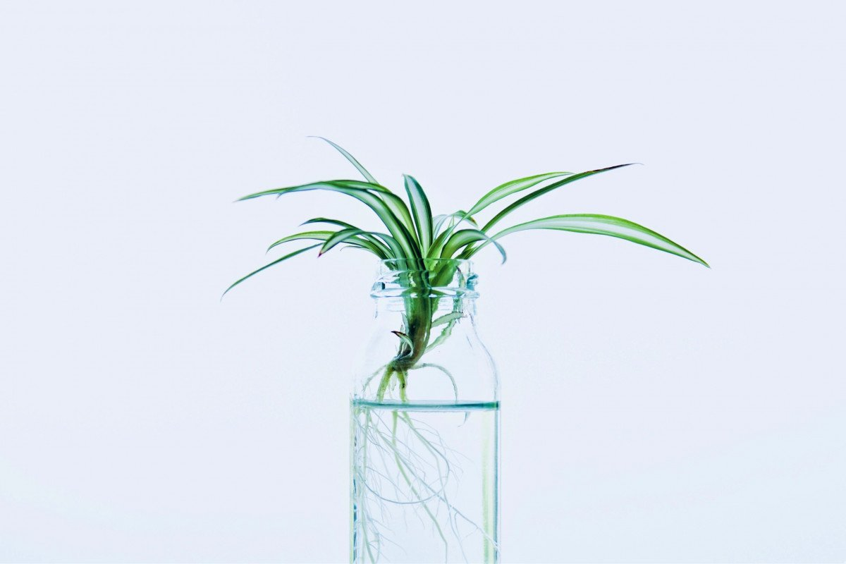a photo of a baby spider plant propapating in water