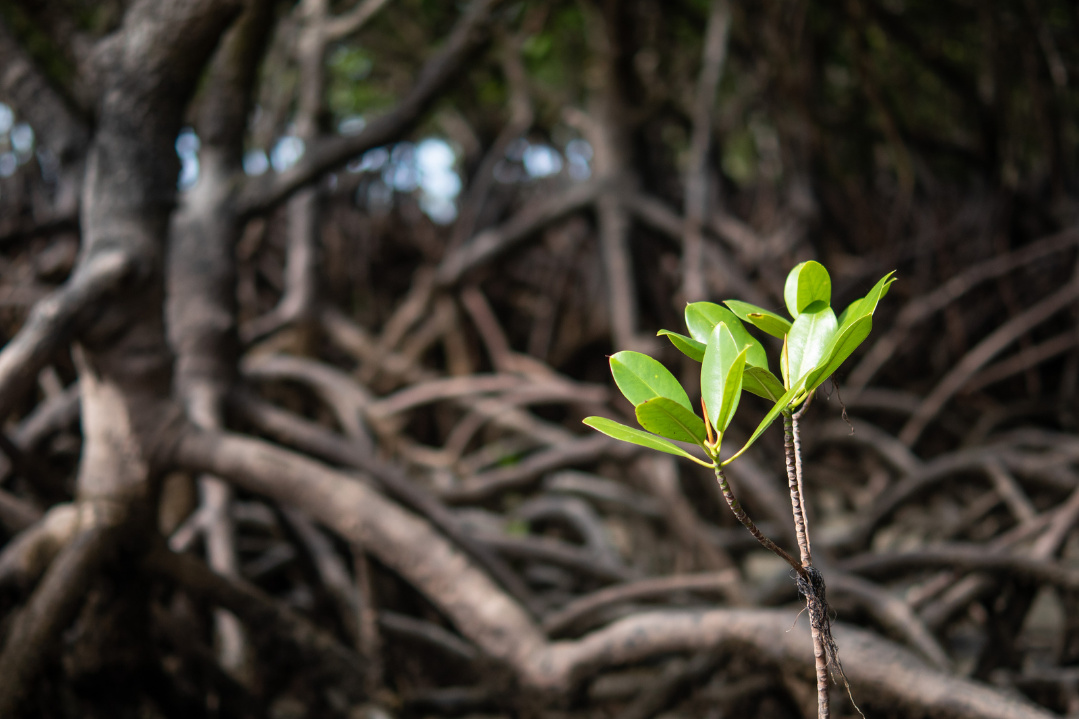 a photo of mangrove seedling