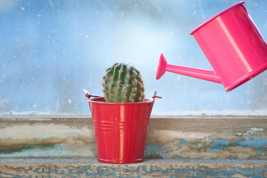 a photo of a cactus and a pink watering can