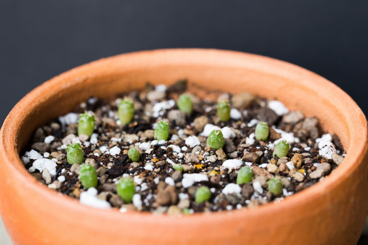 a photo of cacti seedlings
