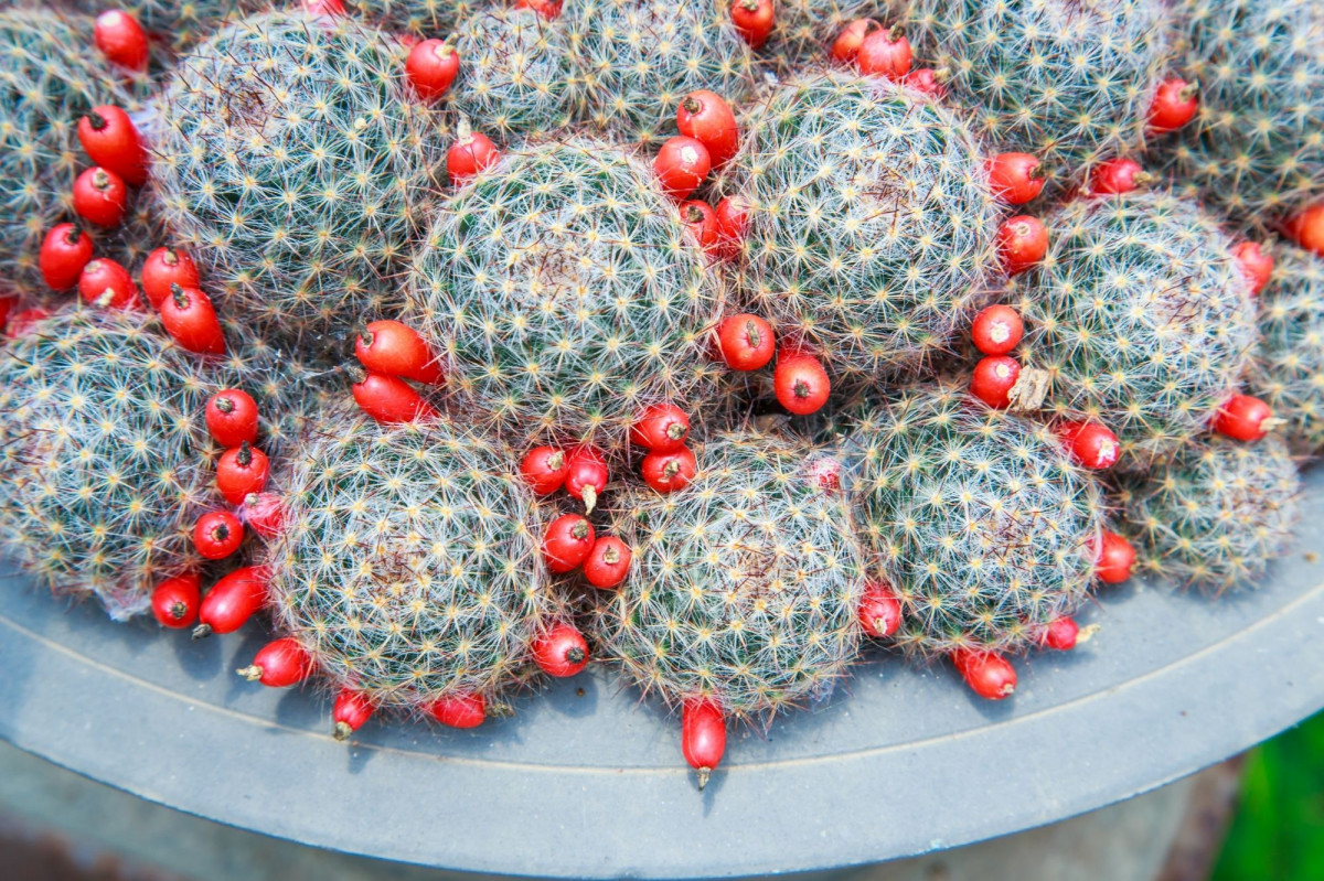 a photo of mammillaria cacti with seed pods