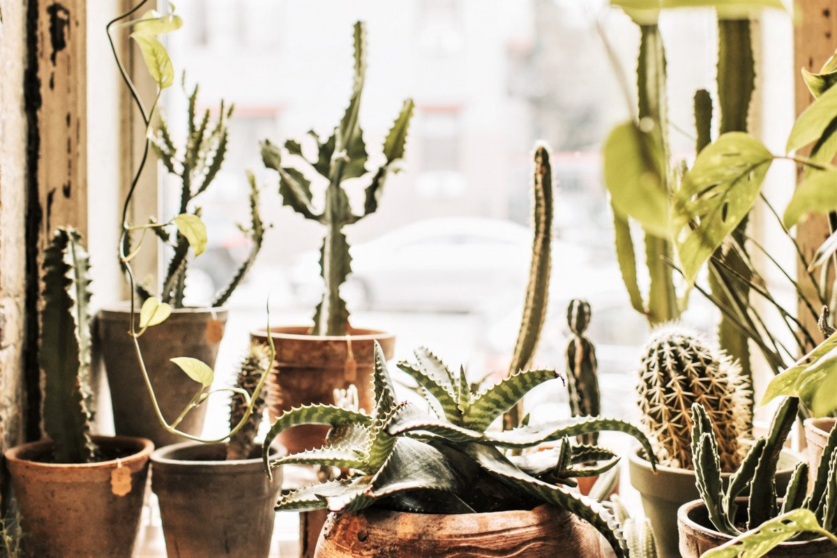 A photo of house plants in a south facing windowsill